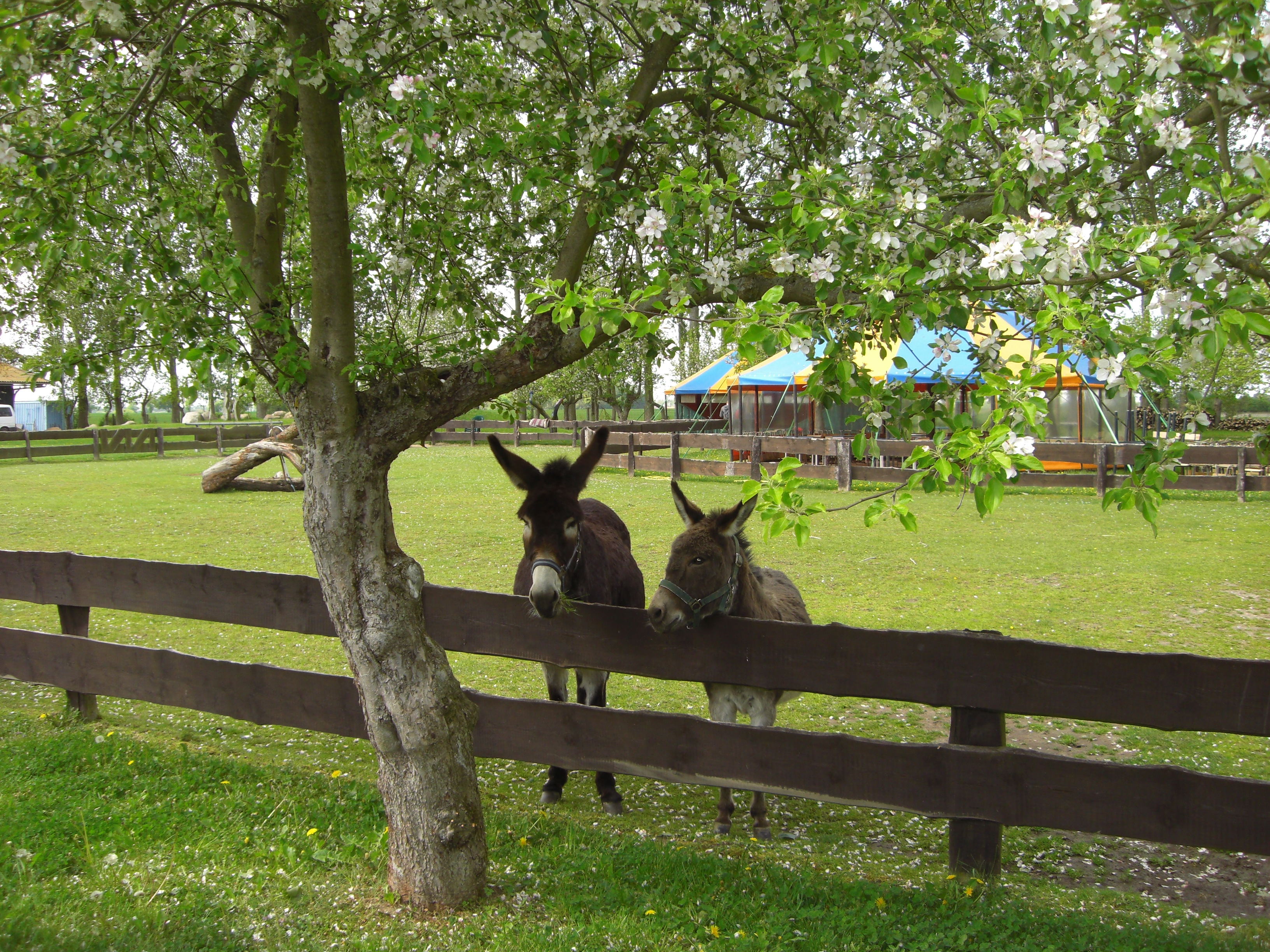 Esel und Obstblüten auf dem Eselhof Schlage 001